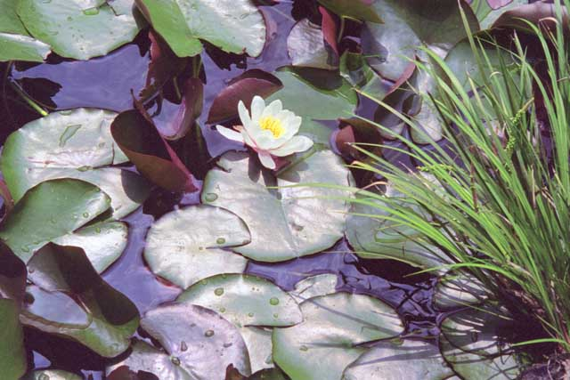 Lily Pond by Joan Dubanoski