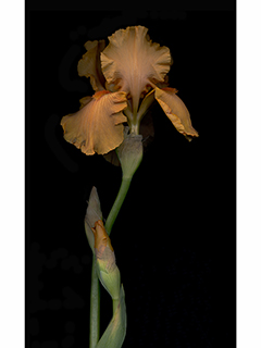 Orange Iris by Kate Keller Kobayashi